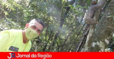 Bicho-preguiça resgatado na Bandeirantes é reintegrado à natureza
