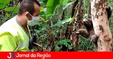 Funcionários da AutoBAn socorrem bicho-preguiça na Bandeirantes