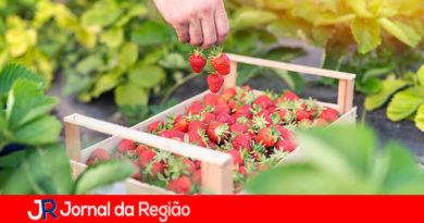 Festa do Morango em Jarinu. (Foto: Divulgação)